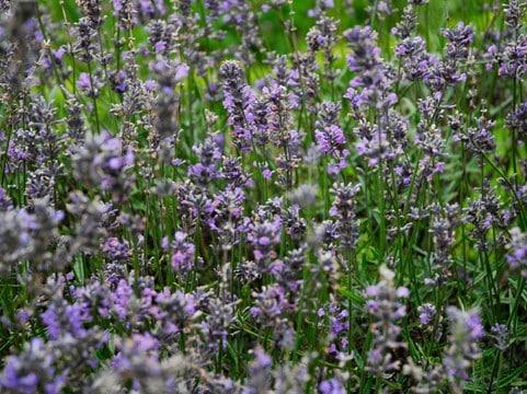 Medieval Herb Garden Yorkshire